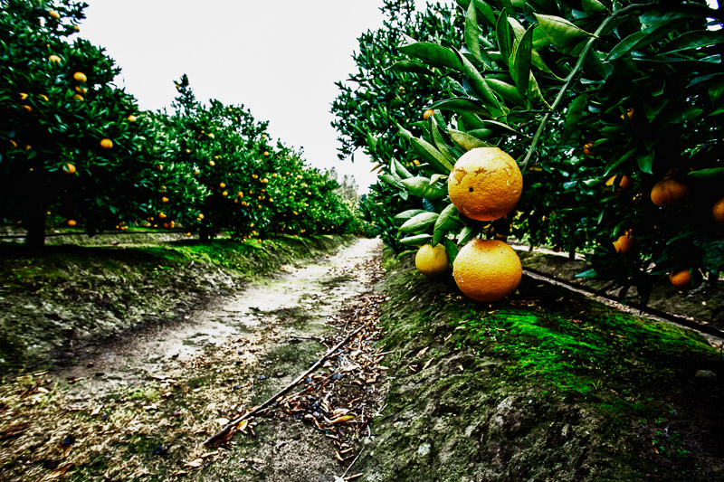 Oranges and more oranges